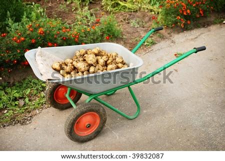 wheelbarrow in a garden full of potatoes - stock photo