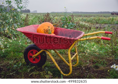 Wheelbarrow with orange pumkins on a rural field in october