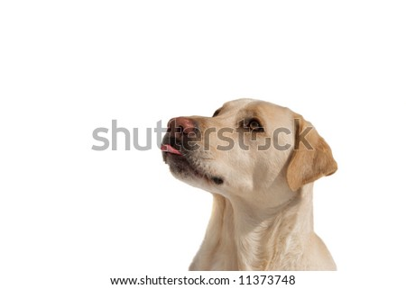 When times get tough, just stick it out! labrador with his tongue out. isolated on white - stock photo