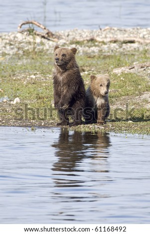 Where is Mom? - Two grizzly bear cubs are looking for mother grizzly at Katmai National Park, Alaska. - stock photo