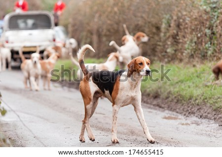 Which way did it go? - Hound looking towards camera  as it tracks the scent out drag hunting in rural England - stock photo