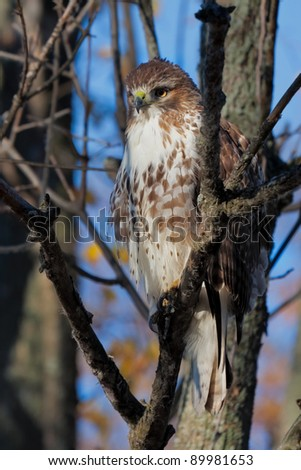 While hidden in its natural environment, a barren tree, a coopers hawk locks its eyes in  laser beam focus on its prey. A slight breeze puffs ups its feathers making it look more threatening. - stock photo
