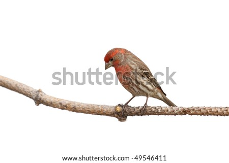 while perched a house finch contemplates its next landing location; white background