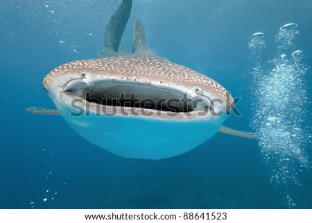 While shark on the blue background - stock photo