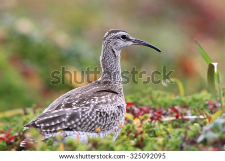 Whimbrel against hummocks in the autumn tundra - stock photo
