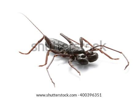 Whip scorpion wet on white background - stock photo