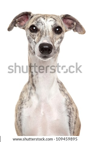 Whippet dog. Portrait on a white background - stock photo