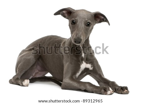 Whippet puppy, 6 months old, lying in front of white background - stock photo