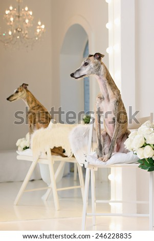 Whippet sits in front of white background - stock photo