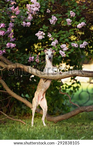 Whippet standing in landscape with selective focus on dog - stock photo