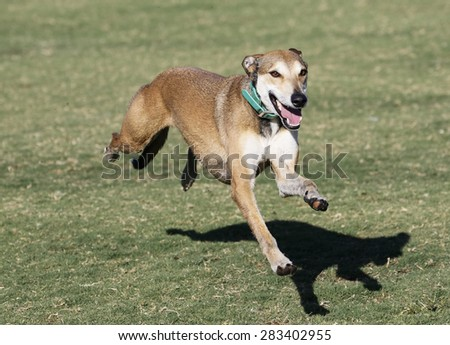 Whippet stretched out in full run, no paws on the ground - stock photo