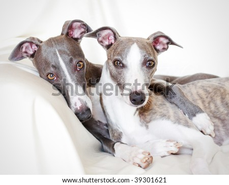 whippets friendship - stock photo