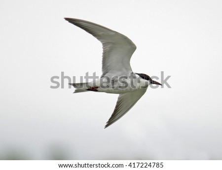 Whiskered tern, Chlidonias hybridus - stock photo