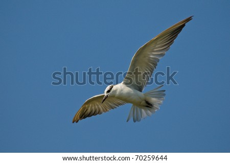 Whiskered tern in flight searching for food below.