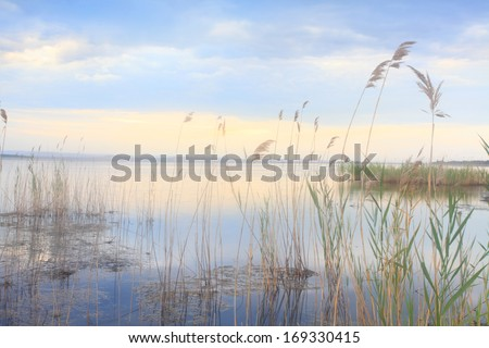 Whispering reeds, (Phragmites australis ) softly swaying and moving gracefully in the blue golden wetlands area of Tuggerah Lakes near Long Jetty at sunset - stock photo