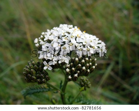 White Achillea Millefolium - stock photo