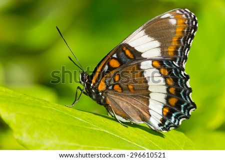 White Admiral Butterfly perched on a leaf.
