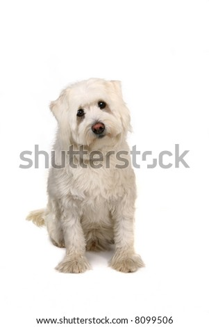 White Adorable Mixed Puppy Dog Isolated on White