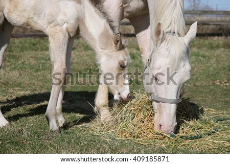 white adult horse and foal grazing on hay close-up