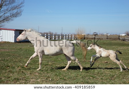 white adult horse and foal running together in a grassy field