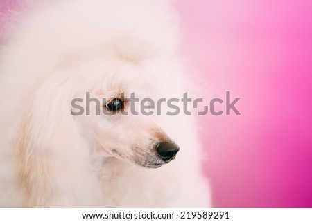 White Adult Standard Poodle Dog Close Up Portrait On Pink Background - stock photo