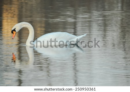 white adult swan