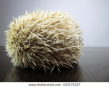 White African posing little hedgehog