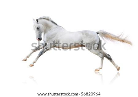 white akhal-teke horse isolated on white - stock photo