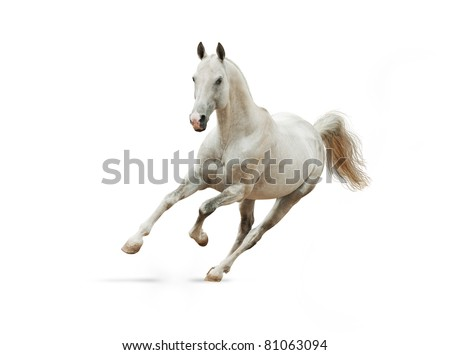 white akhal-teke horse isolated on white - stock photo