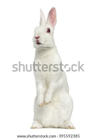 White albino hare on his hind legs isolated on white - stock photo