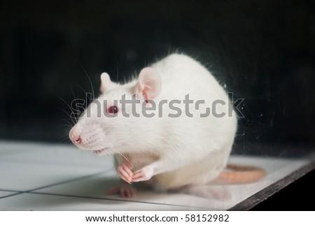 white (albino) laboratory rat on board during experiment - stock photo