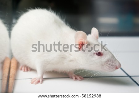 white (albino) laboratory rat on board during experiment - stock photo