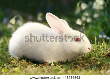 white albino rabbit on early spring meadow background, snow-white coney portrait