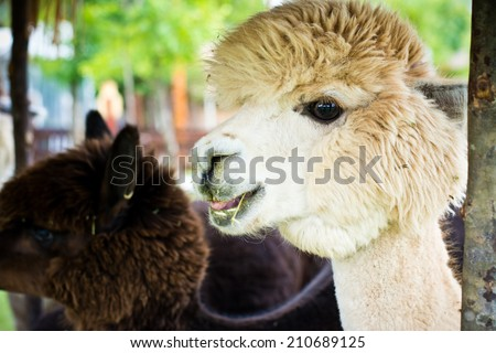 white alpaca eating his food