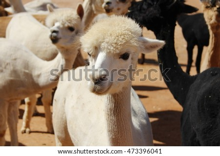 White Alpaca in New Mexico