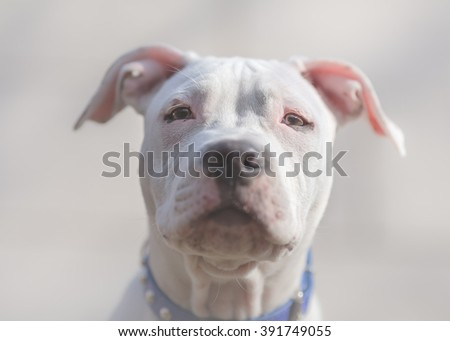 White American Staffordshire terrier puppy close portrait - stock photo