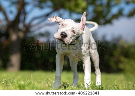 White American Staffordshire Terrier young dog shaking off water - stock photo
