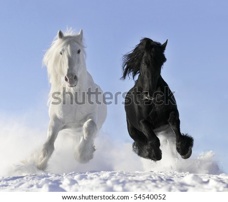 white and black horses - stock photo