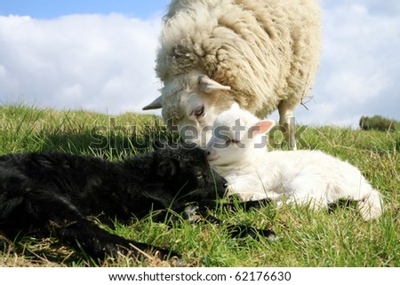 White and black lambs and mum. Herd of sheeps, Skudde - the most primitive and smallest sheep breed in Europe on the field in Pasterka village in Poland. - stock photo