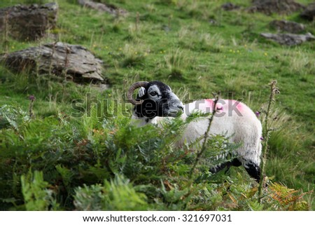 White and Black sheep in lakes district, cumbria, united kingdom - stock photo
