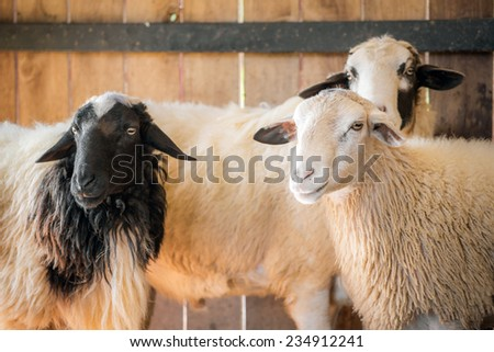 White and black sheeps on the farm - stock photo