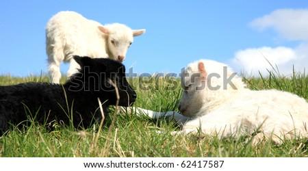 White sheep herd - photo#20