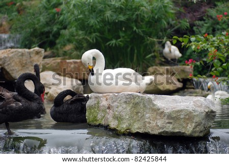 white and black swans have a rest in stream - stock photo