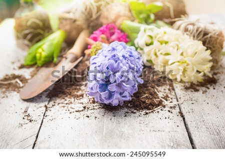 White and blue hyacinth with  shovel and earth on garden white wooden table, spring gardening - stock photo