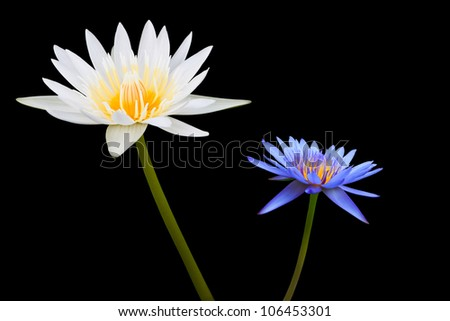 White and Blue Lotus Isolated on Black Background - stock photo