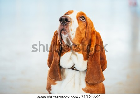 White And Brown Basset Hound Dog Close Up Portrait - stock photo