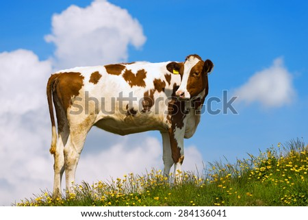 White and brown calf on a mountain pasture with green grass, yellow flowers and blue sky with clouds - stock photo