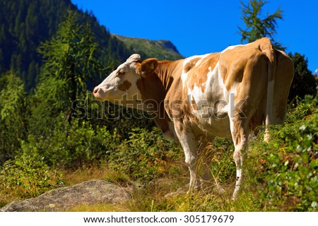 White and Brown Cow in Mountain / Brown and white cow standing in alpine landscape. National Park of Adamello Brenta. Trentino Alto Adige, Italy - stock photo