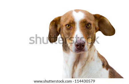 White and brown dog isolated on white looking to the camera
