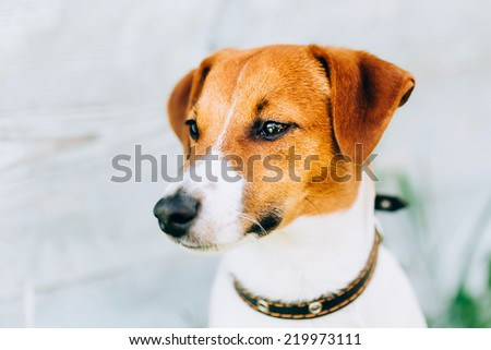 White And Brown Dog Jack Russell Terrier On Light Wooden Background Outdoors. Toned Instant Photo - stock photo
